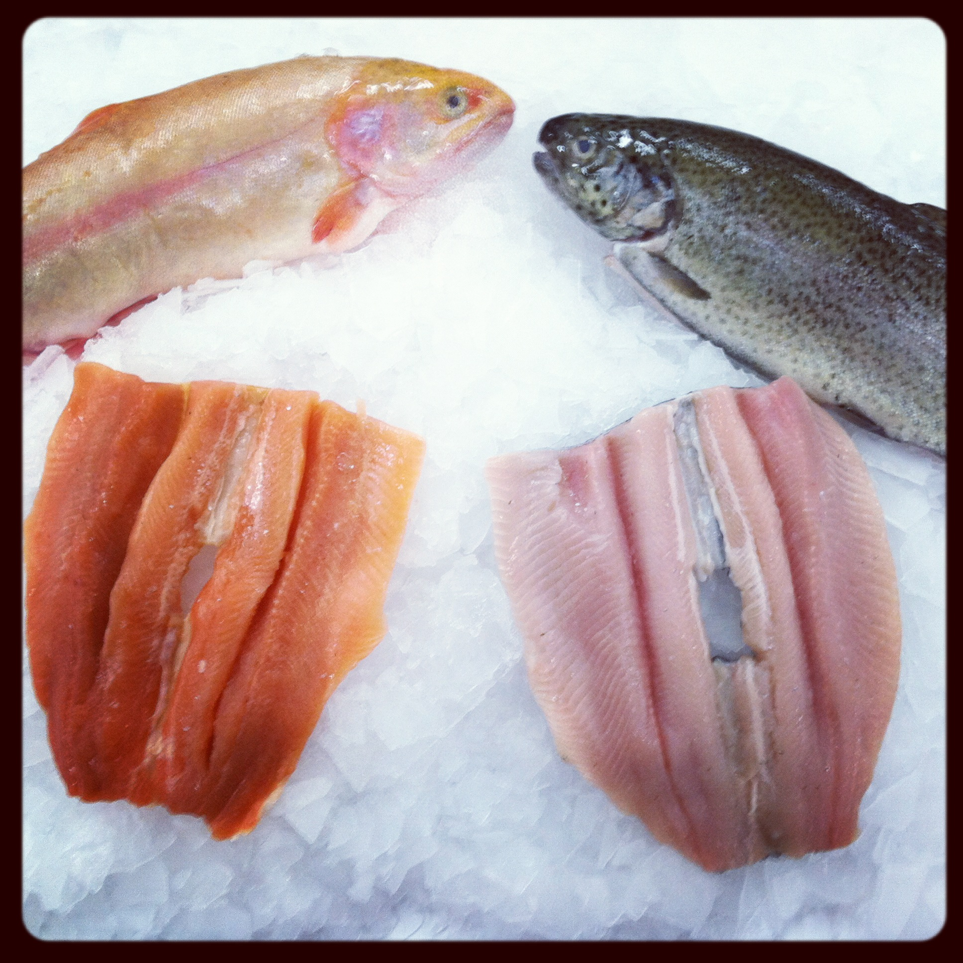 golden and rainbow trout euclid fish company