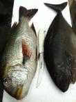 Hand Speared Fish off the Hawaiian Islands
