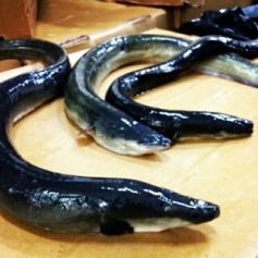Eels, Live